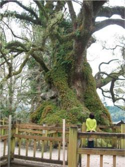 鹿児島県蒲生町八幡神社内 蒲生の大クス写真