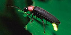 成虫のゲンジボタル写真