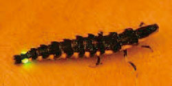 幼虫のゲンジボタル写真